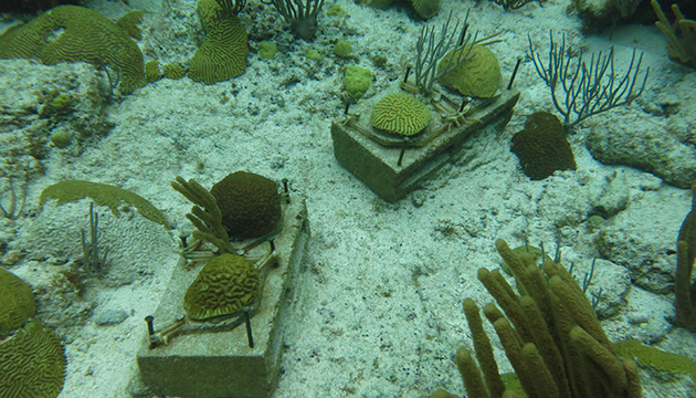 <p> 	1.5 Experimental coral colonies fixed to cinder blocks at Hog Reef, Bermuda. They have been used repetitively for the flume experiments over a period of 2 years. Photo: Sawall.</p>