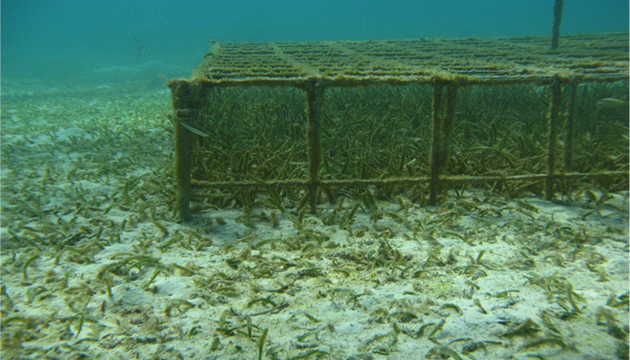 <p> 	3.2 Seagrass growth under a turtle exclosure cage at Chub Head, Bermuda, in 2009. Photo: Bermuda Gov. Department of Environment and Natural Resources (DENR).</p>