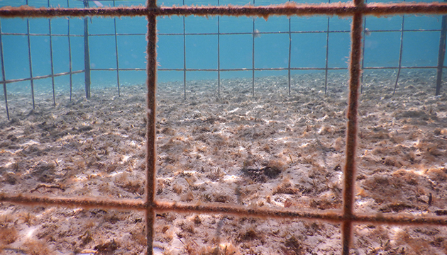<p> 	3.4 One of 8 turtle exclosure cages (2x2 m) installed at Bailey's Bay, Bermuda, in January 2020 as part of a seagrass recovery experiment. Photo: Sarah Manuel (DENR).</p>