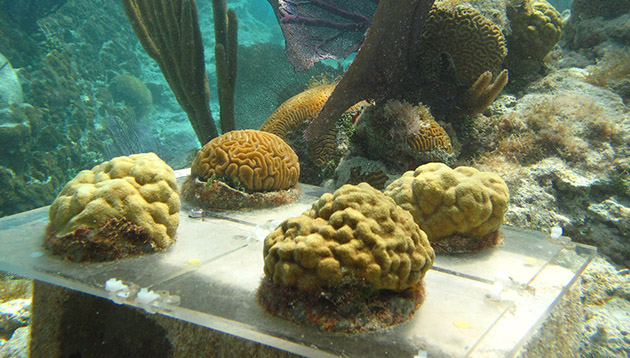 Bermuda Ocean Acidification and Coral Reef Investigation coral rack
