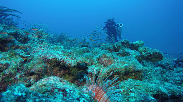<p> 	Gretchen Goodbody-Gringley uses a lionfish containment device to collect fish that she spears on one of Bermuda's mesophotic reefs. This targeted removal is being studied as one possible mechanism for controlling the invasive lionfish population and protecting local fish diversity.</p>