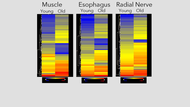 Heat maps showing age-related changes in gene expression in S. purpuratus tissues.