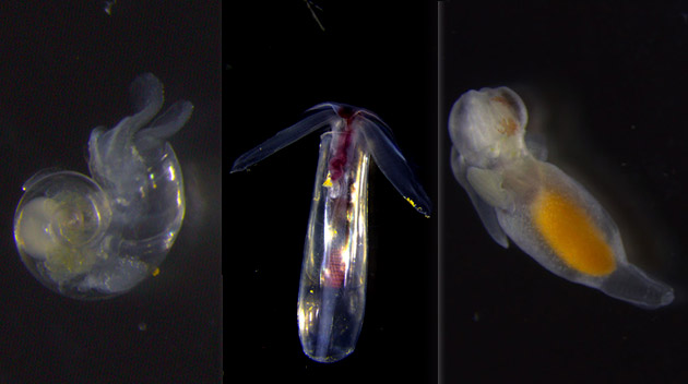 Pteropods under the microscope
