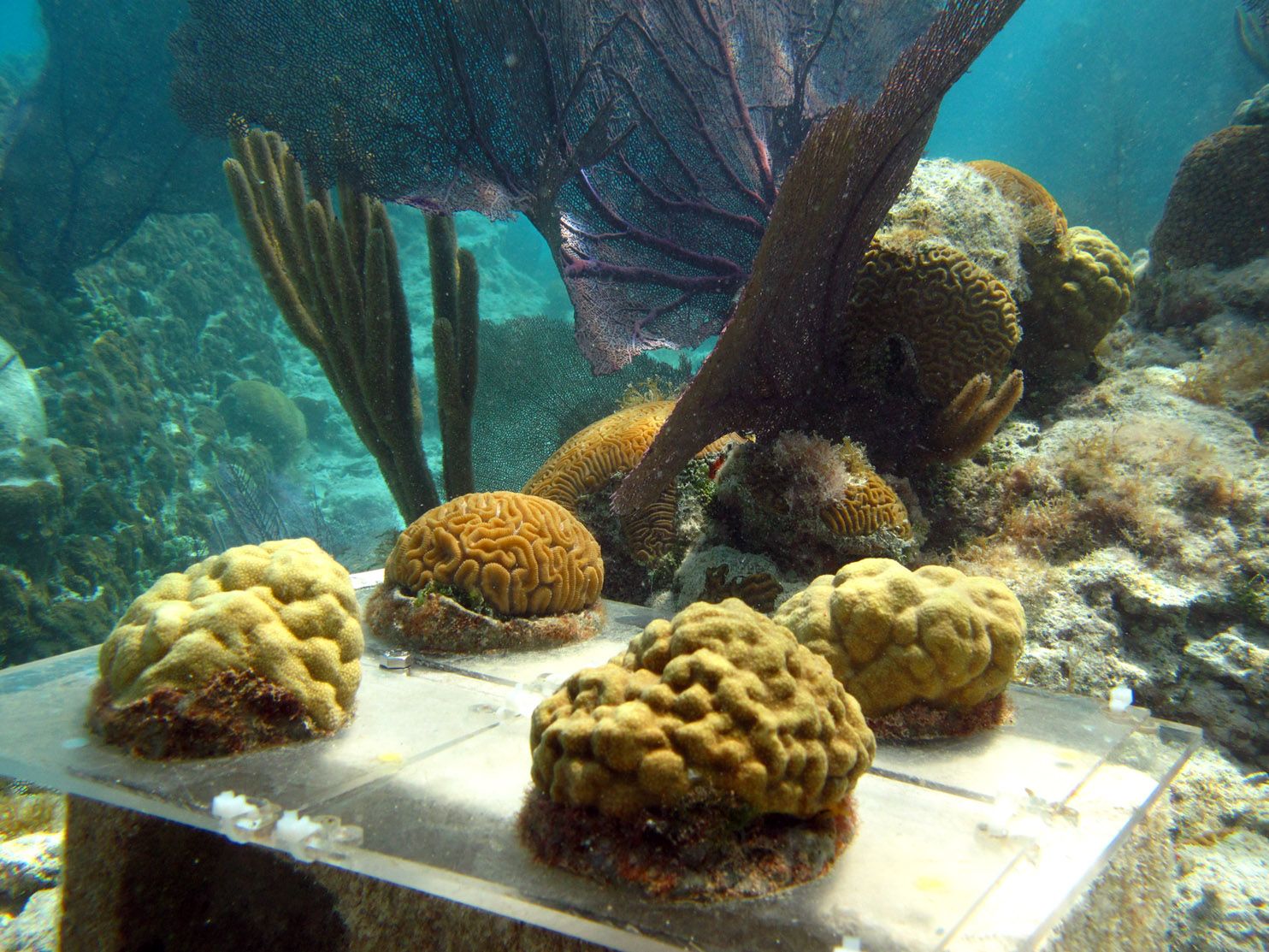 <p> 	<em>In situ</em> coral racks.</p>
