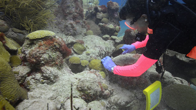 <p> 	Research Technician Stacy Peltier takes a core sample from a <em>Porites astreoides</em> colony for chlorophyll analysis in the lab.</p>