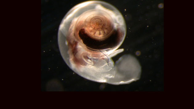 <p> 	<em>Limacina helicina antarctica</em>, the omniverous Antarctic pteropod. Photo by Amy Maas</p>