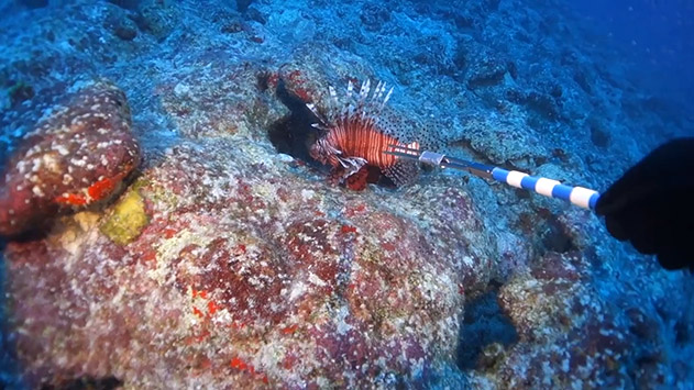 <p> Spearing a lionfish.</p>